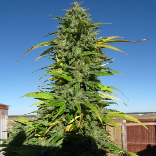 The Yummy cannabis plant is very strong and has very large and especially beautiful buds
