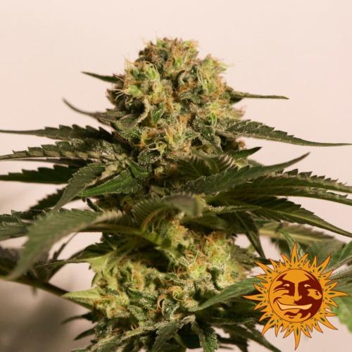 CBD Critical Cure wietsoort van Barney's Farm