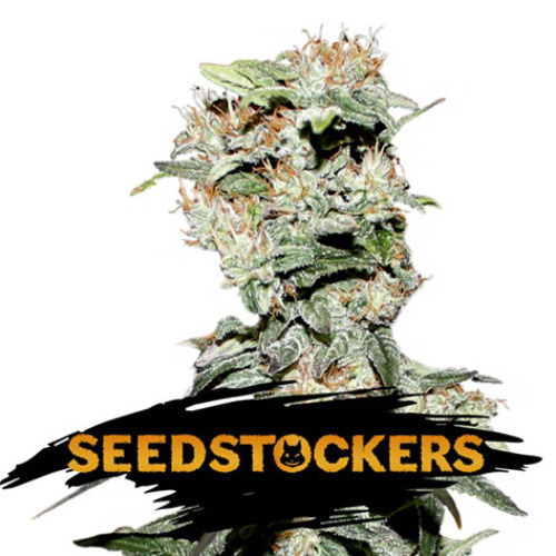 CBD Critical XXL Auto - Seedstockers