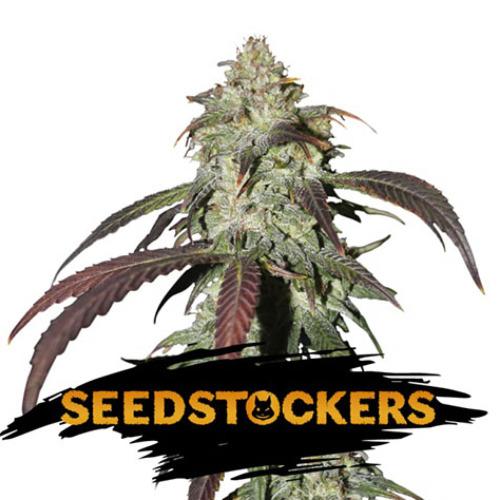 CBD Northern Lights - Seedstockers
