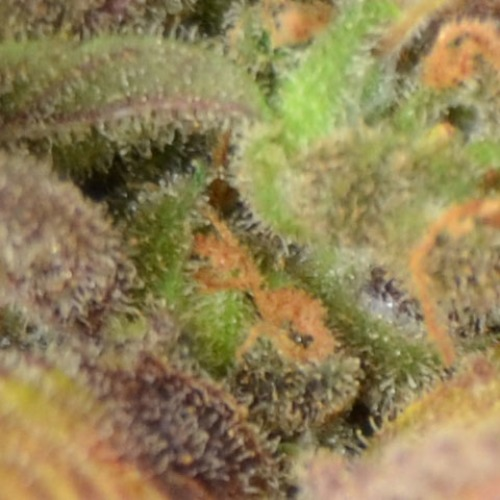 Auto Critical from CBD Seeds are feminised autlfower seeds that flower quickly