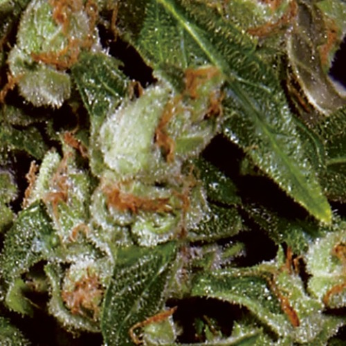 Auto Widow seeds from CBD Seeds are very popular cannabis seeds