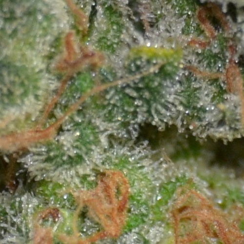 Close-up of the buds from the Cheese from CBD Seeds