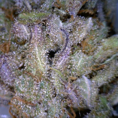 De THC kristallen op de top van de CBD Seeds Critical