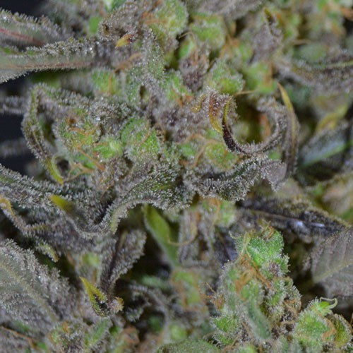 De zware compacte toppen van de critical wietplant van CBD Seeds