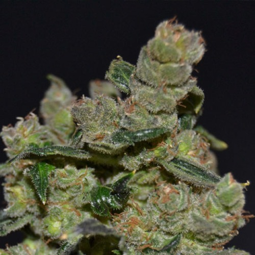 CBD Seeds Diesel cannabis plants are extremely suitable for a Sea of Green grow