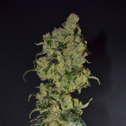Diesel - CBD Seeds