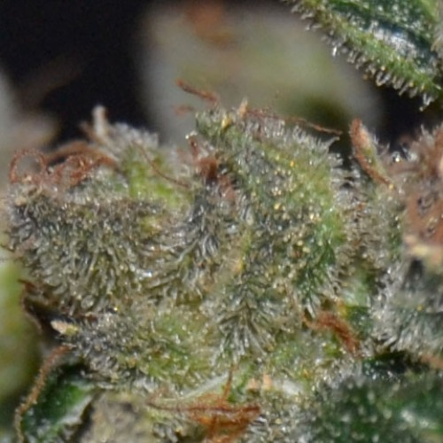 The taste of this Diesel cananbis from CBD Seeds is light fruity with a citrus and spicy aftertaste