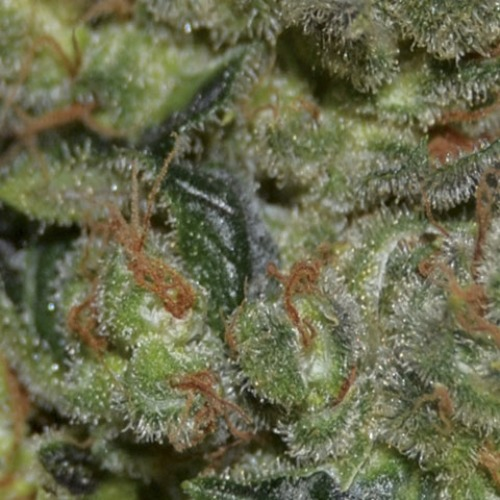 Flowering bud of the Diesel cannabis plant from CBD Seeds