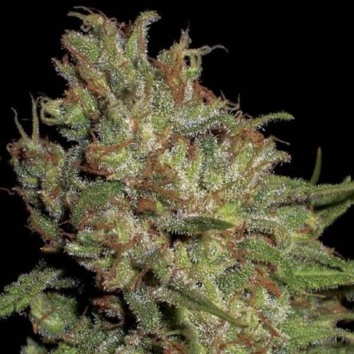 Domina feminized cannabis seeds- CBD Seeds.