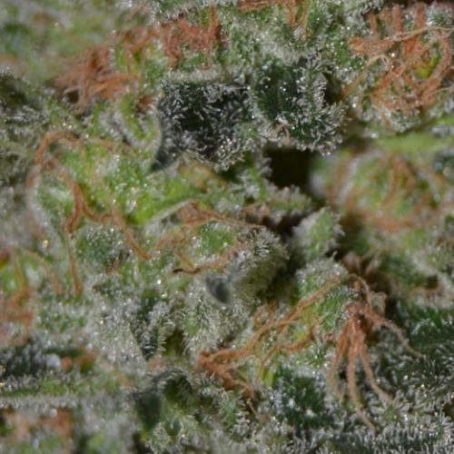Domina from CBD Seeds is a Medical Marijuana strain