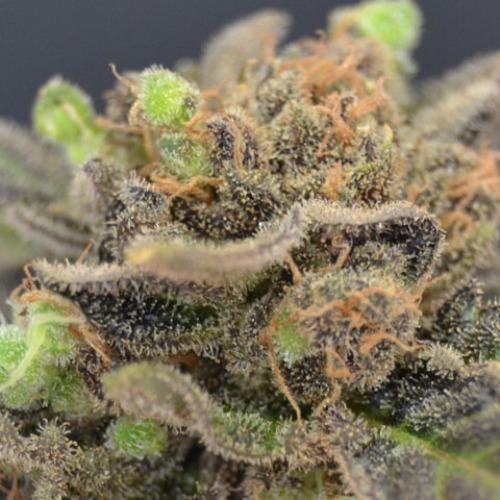 Magma wietzaden van CBD Seeds zijn geschikt voor de beginnende kweker.