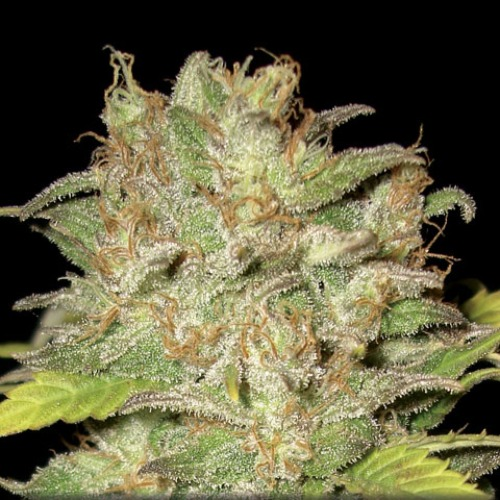 Growing cannabis with these Widow seeds provide you a cannabis that is very powerful