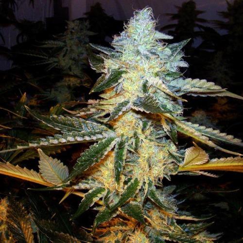 Vantage - CH9 Seeds wietplant top bloei