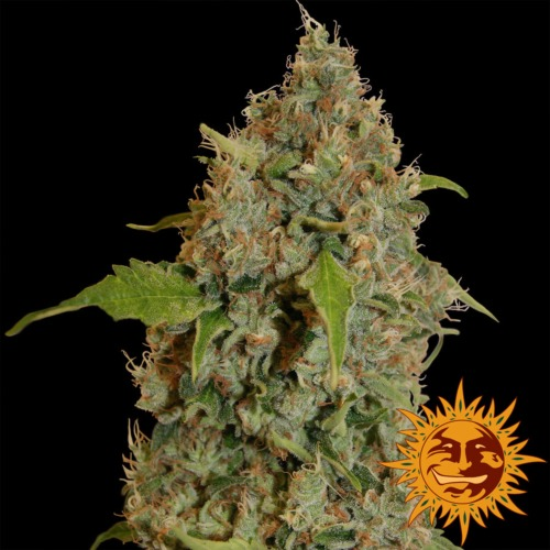 Chronic Thunder - Barney's Farm.