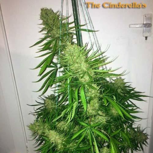 Cinderellas - Sumo Seeds wietplant in bloei