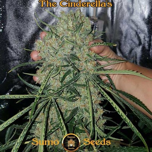 Cinderellas - Sumo Seeds oogstrijp