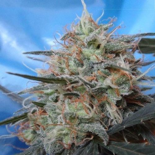Congo X Kali China van Ace Seeds