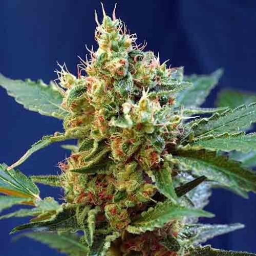 Green Poison XL Auto - Sweet Seeds