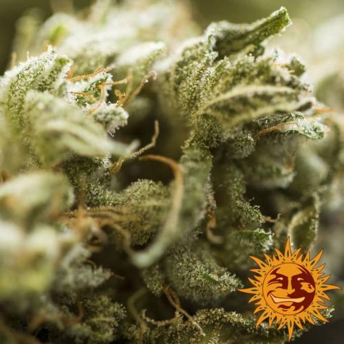 THC kristallen op de Critical Kush autoflower van Barney's Farm