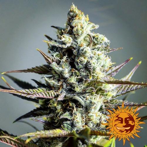 Critical Kush cannabis plant - Barney's Farm