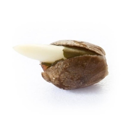Ontkiemd zaadje Critical Kush - Royal Queen Seeds
