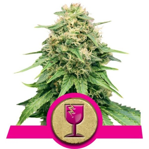 Critical cannabis - Royal Queen Seeds