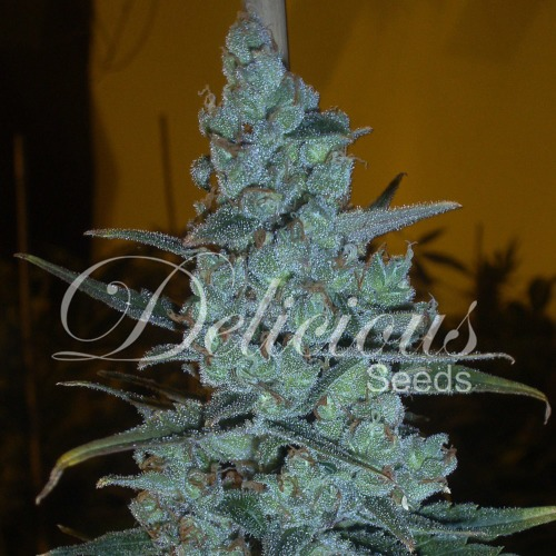 Critical Jack Herer - Delicious Seeds