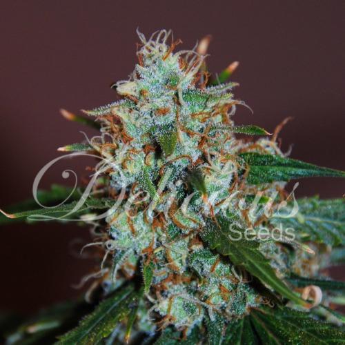Critical Neville Haze - Delicious Seeds