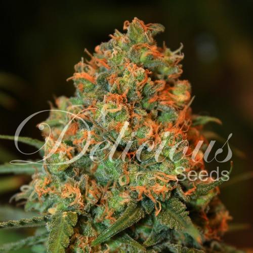 Critical Super Silver Haze - Delicious Seeds