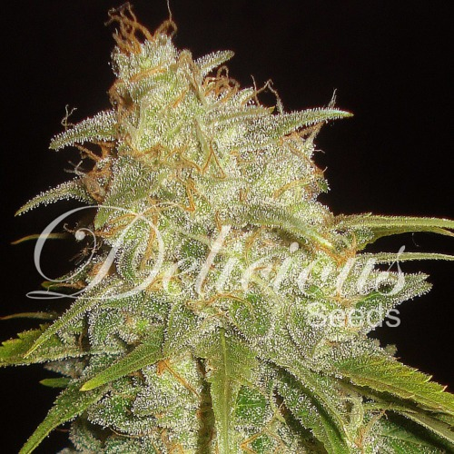 Critical Yumbolt - Delicious Seeds