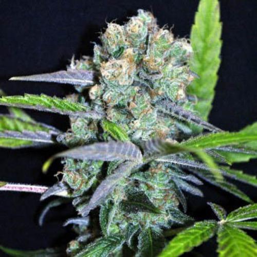 Shark Shock CBD - Dinafem close up THC wietplant