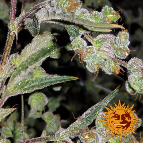 Dr. Grinspoon close-up - Barney's Farm