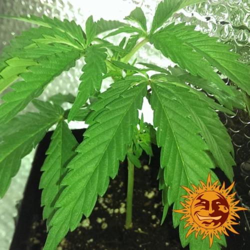 Dr. Grinspoon cannabis plant - Barney's Farm