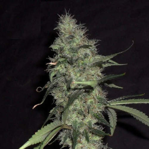 Sonic Bloom Auto - Dr Krippling