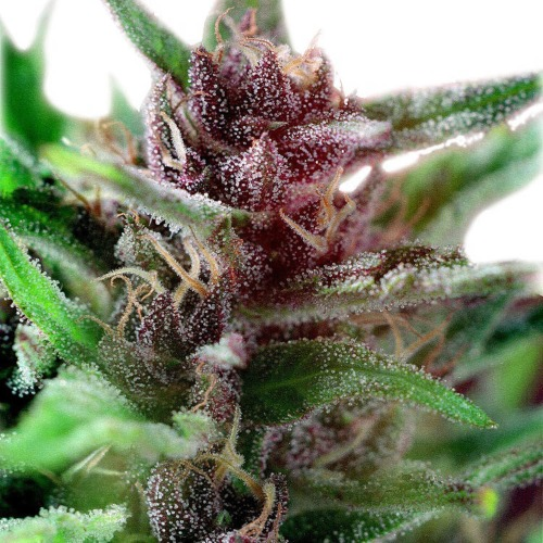 Shaman - Dutch Passion close up cannabis plant with THC