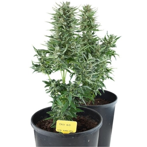 Easy Bud Auto wietplant - Royal Queen Seeds