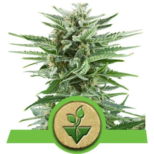 Easy Bud Autoflower wietsoort - Royal Queen Seeds