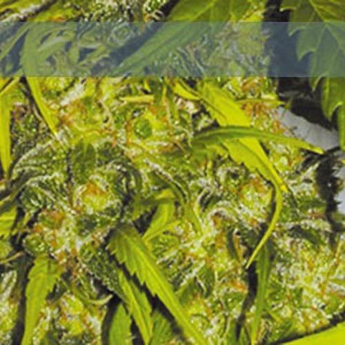 Caprichosa Thai - Elite Seeds