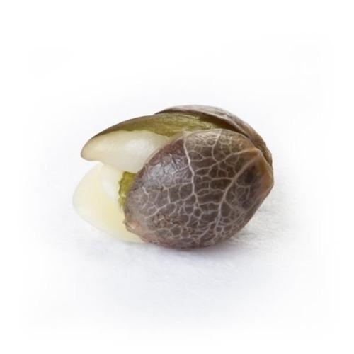 Ontkiemd wietzaadje Euphoria - Royal Queen Seeds