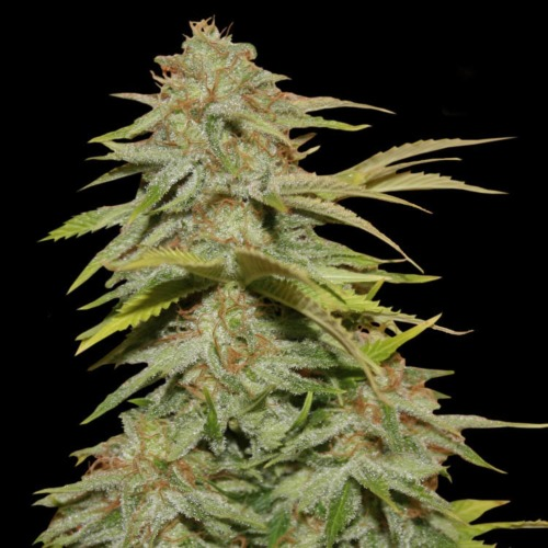 Papa's Candy - Eva Female Seeds