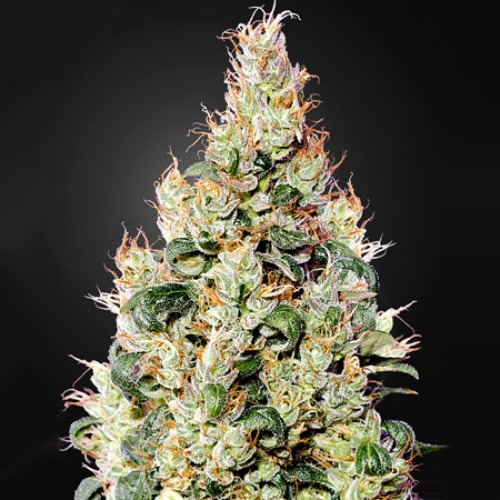 Exodus Cheese Autoflowering CBD - Green House Seeds