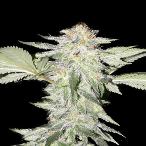Crystal METH - Fast Buds bloeiperiode wiet kweken
