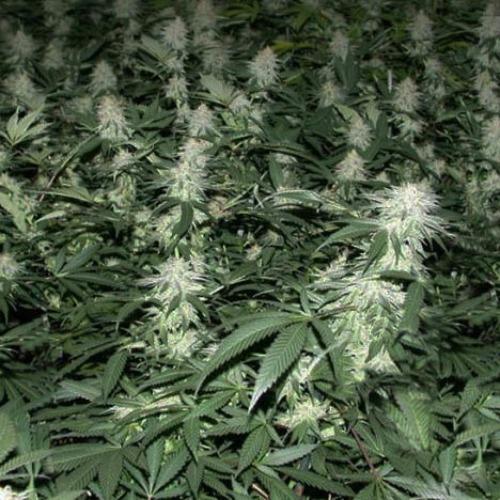 Crystal METH - Fast Buds kweekruimte met wietplanten
