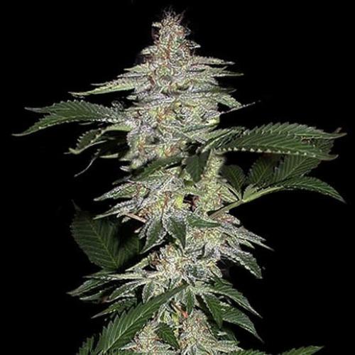 Crystal METH - Fast Buds lange wiet top