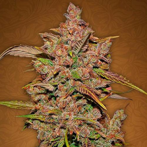 Crystal METH - Fast Buds