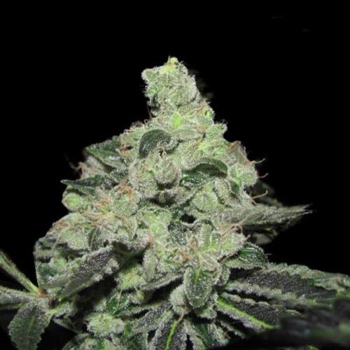 Pineapple Express - Fast Buds dikke wiettop
