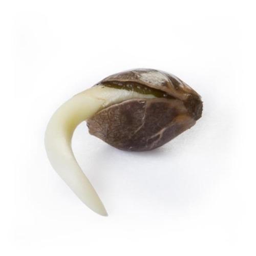 Ontkiemd wietzaadje Fast Eddy Fast Flowering - Royal Queen Seeds