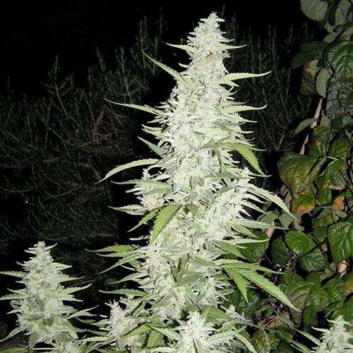 Maroc - Female Seeds