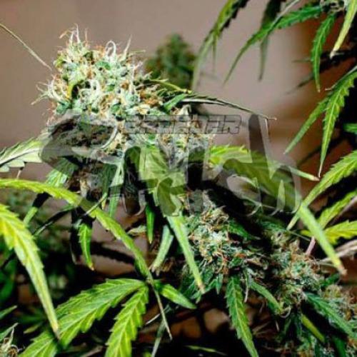 Formula One - Flash Seeds cannabis bud during flowering